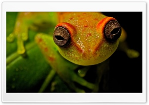 Frog Macro HD Wide Wallpaper for Widescreen