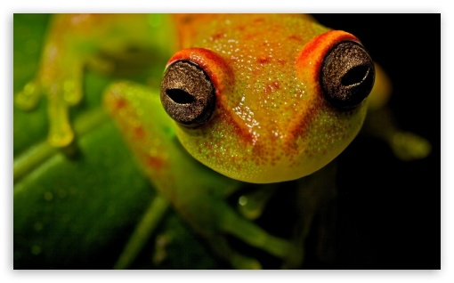 Frog Macro HD wallpaper for Wide 5:3 Widescreen WGA ; HD 16:9 High Definition WQHD QWXGA 1080p 900p 720p QHD nHD ; Standard 4:3 Fullscreen UXGA XGA SVGA ; iPad 1/2/Mini ; Mobile 4:3 5:3 16:9 - UXGA XGA SVGA WGA WQHD QWXGA 1080p 900p 720p QHD nHD ;