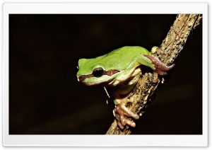 Frog On Branch HD Wide Wallpaper for Widescreen