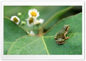 Frog Over Big Leaf HD Wide Wallpaper for Widescreen