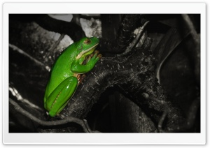 Frog Praying HD Wide Wallpaper for Widescreen