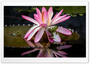 Frogs, Water Lily Flower HD Wide Wallpaper for Widescreen