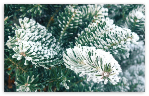 Frost, Christmas Tree ❤ 4K UHD Wallpaper for Wide 16:10 5:3 Widescreen WHXGA WQXGA WUXGA WXGA WGA ; 4K UHD 16:9 Ultra High Definition 2160p 1440p 1080p 900p 720p ; Standard 4:3 5:4 3:2 Fullscreen UXGA XGA SVGA QSXGA SXGA DVGA HVGA HQVGA ( Apple PowerBook G4 iPhone 4 3G 3GS iPod Touch ) ; Tablet 1:1 ; iPad 1/2/Mini ; Mobile 4:3 5:3 3:2 16:9 5:4 - UXGA XGA SVGA WGA DVGA HVGA HQVGA ( Apple PowerBook G4 iPhone 4 3G 3GS iPod Touch ) 2160p 1440p 1080p 900p 720p QSXGA SXGA ; Dual 4:3 5:4 UXGA XGA SVGA QSXGA SXGA ;