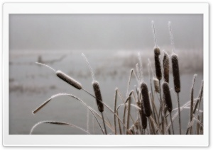 Frosted Cattails HD Wide Wallpaper for Widescreen