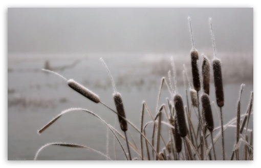 Frosted Cattails HD wallpaper for Wide 16:10 5:3 Widescreen WHXGA WQXGA WUXGA WXGA WGA ; HD 16:9 High Definition WQHD QWXGA 1080p 900p 720p QHD nHD ; Mobile 5:3 16:9 - WGA WQHD QWXGA 1080p 900p 720p QHD nHD ;