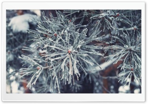 Frosted Pine Needles, Winter HD Wide Wallpaper for Widescreen