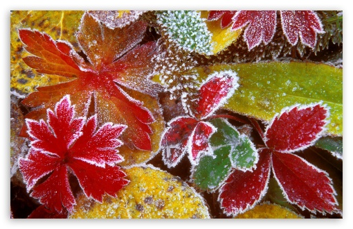 Frosty Leaves HD wallpaper for Wide 16:10 5:3 Widescreen WHXGA WQXGA WUXGA WXGA WGA ; HD 16:9 High Definition WQHD QWXGA 1080p 900p 720p QHD nHD ; Standard 4:3 5:4 3:2 Fullscreen UXGA XGA SVGA QSXGA SXGA DVGA HVGA HQVGA devices ( Apple PowerBook G4 iPhone 4 3G 3GS iPod Touch ) ; Tablet 1:1 ; iPad 1/2/Mini ; Mobile 4:3 5:3 3:2 16:9 5:4 - UXGA XGA SVGA WGA DVGA HVGA HQVGA devices ( Apple PowerBook G4 iPhone 4 3G 3GS iPod Touch ) WQHD QWXGA 1080p 900p 720p QHD nHD QSXGA SXGA ;