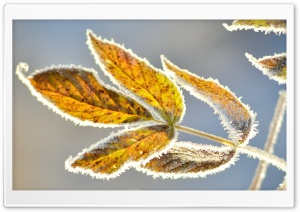 Frosty Leaves HD Wide Wallpaper for Widescreen