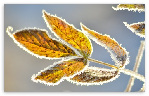 Frosty Leaves ❤ 4K UHD Wallpaper for Wide 16:10 5:3 Widescreen WHXGA WQXGA WUXGA WXGA WGA ; 4K UHD 16:9 Ultra High Definition 2160p 1440p 1080p 900p 720p ; Standard 4:3 3:2 Fullscreen UXGA XGA SVGA DVGA HVGA HQVGA ( Apple PowerBook G4 iPhone 4 3G 3GS iPod Touch ) ; iPad 1/2/Mini ; Mobile 4:3 5:3 3:2 16:9 - UXGA XGA SVGA WGA DVGA HVGA HQVGA ( Apple PowerBook G4 iPhone 4 3G 3GS iPod Touch ) 2160p 1440p 1080p 900p 720p ;