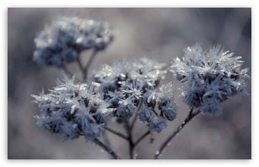 Frozen Flowers HD wallpaper for Wide 16:10 5:3 Widescreen WHXGA WQXGA WUXGA WXGA WGA ; HD 16:9 High Definition WQHD QWXGA 1080p 900p 720p QHD nHD ; Standard 4:3 5:4 3:2 Fullscreen UXGA XGA SVGA QSXGA SXGA DVGA HVGA HQVGA devices ( Apple PowerBook G4 iPhone 4 3G 3GS iPod Touch ) ; Tablet 1:1 ; iPad 1/2/Mini ; Mobile 4:3 5:3 3:2 16:9 5:4 - UXGA XGA SVGA WGA DVGA HVGA HQVGA devices ( Apple PowerBook G4 iPhone 4 3G 3GS iPod Touch ) WQHD QWXGA 1080p 900p 720p QHD nHD QSXGA SXGA ; Dual 4:3 5:4 UXGA XGA SVGA QSXGA SXGA ;