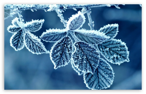 Frozen Leaves HD wallpaper for Wide 16:10 5:3 Widescreen WHXGA WQXGA WUXGA WXGA WGA ; HD 16:9 High Definition WQHD QWXGA 1080p 900p 720p QHD nHD ; Standard 4:3 5:4 3:2 Fullscreen UXGA XGA SVGA QSXGA SXGA DVGA HVGA HQVGA devices ( Apple PowerBook G4 iPhone 4 3G 3GS iPod Touch ) ; Tablet 1:1 ; iPad 1/2/Mini ; Mobile 4:3 5:3 3:2 16:9 5:4 - UXGA XGA SVGA WGA DVGA HVGA HQVGA devices ( Apple PowerBook G4 iPhone 4 3G 3GS iPod Touch ) WQHD QWXGA 1080p 900p 720p QHD nHD QSXGA SXGA ;