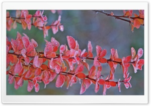 Frozen Red Barberry HD Wide Wallpaper for Widescreen