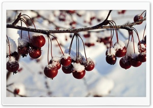 Frozen Red Berries, Winter HD Wide Wallpaper for 4K UHD Widescreen desktop & smartphone