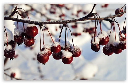 Frozen Red Berries, Winter HD wallpaper for Wide 16:10 5:3 Widescreen WHXGA WQXGA WUXGA WXGA WGA ; HD 16:9 High Definition WQHD QWXGA 1080p 900p 720p QHD nHD ; UHD 16:9 WQHD QWXGA 1080p 900p 720p QHD nHD ; Standard 4:3 5:4 3:2 Fullscreen UXGA XGA SVGA QSXGA SXGA DVGA HVGA HQVGA devices ( Apple PowerBook G4 iPhone 4 3G 3GS iPod Touch ) ; Tablet 1:1 ; iPad 1/2/Mini ; Mobile 4:3 5:3 3:2 16:9 5:4 - UXGA XGA SVGA WGA DVGA HVGA HQVGA devices ( Apple PowerBook G4 iPhone 4 3G 3GS iPod Touch ) WQHD QWXGA 1080p 900p 720p QHD nHD QSXGA SXGA ; Dual 5:4 QSXGA SXGA ;