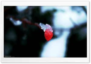 Frozen Red Leaf (Precious But Fleeting) HD Wide Wallpaper for 4K UHD Widescreen desktop & smartphone