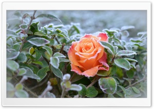 Frozen Rose HD Wide Wallpaper for Widescreen