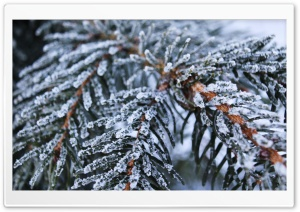Frozen Spruce HD Wide Wallpaper for Widescreen