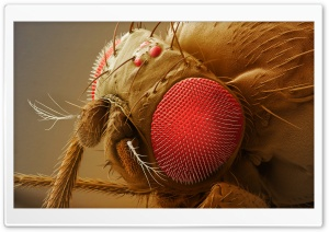 Fruit Fly Head HD Wide Wallpaper for Widescreen