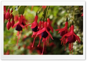 Fuchsia Flowers HD Wide Wallpaper for Widescreen