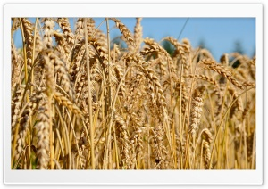 Fully Ripe Wheat Field HD Wide Wallpaper for Widescreen