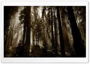 Fuming Redwoods HD Wide Wallpaper for Widescreen