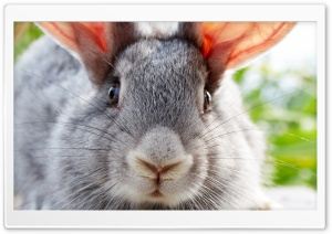 Funny Bunny HD Wide Wallpaper for Widescreen