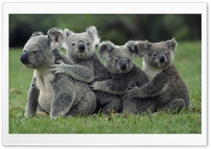 Funny Cute Koalas HD Wide Wallpaper for Widescreen