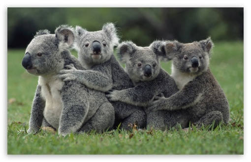 Funny Cute Koalas ❤ 4K UHD Wallpaper for Wide 16:10 5:3 Widescreen WHXGA WQXGA WUXGA WXGA WGA ; 4K UHD 16:9 Ultra High Definition 2160p 1440p 1080p 900p 720p ; Standard 3:2 Fullscreen DVGA HVGA HQVGA ( Apple PowerBook G4 iPhone 4 3G 3GS iPod Touch ) ; Mobile 5:3 3:2 16:9 - WGA DVGA HVGA HQVGA ( Apple PowerBook G4 iPhone 4 3G 3GS iPod Touch ) 2160p 1440p 1080p 900p 720p ;
