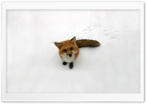 Funny Fox HD Wide Wallpaper for 4K UHD Widescreen desktop & smartphone