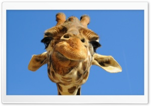Funny Giraffe HD Wide Wallpaper for Widescreen