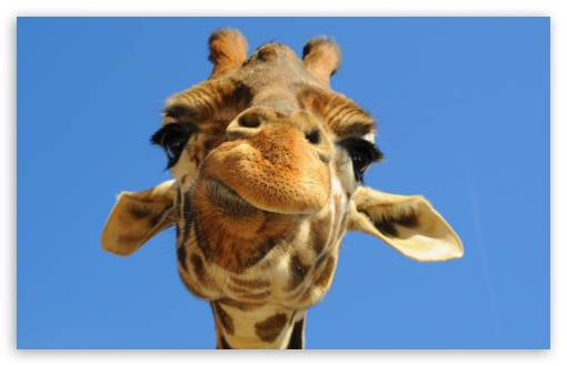 Funny Giraffe UltraHD Wallpaper for Wide 16:10 5:3 Widescreen WHXGA WQXGA WUXGA WXGA WGA ; 8K UHD TV 16:9 Ultra High Definition 2160p 1440p 1080p 900p 720p ; Standard 4:3 5:4 3:2 Fullscreen UXGA XGA SVGA QSXGA SXGA DVGA HVGA HQVGA ( Apple PowerBook G4 iPhone 4 3G 3GS iPod Touch ) ; iPad 1/2/Mini ; Mobile 4:3 5:3 3:2 16:9 5:4 - UXGA XGA SVGA WGA DVGA HVGA HQVGA ( Apple PowerBook G4 iPhone 4 3G 3GS iPod Touch ) 2160p 1440p 1080p 900p 720p QSXGA SXGA ;