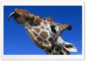 Funny Giraffe Sticking Out His Tongue HD Wide Wallpaper for 4K UHD Widescreen desktop & smartphone