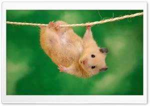 Funny Hamster Ultra HD Wallpaper for 4K UHD Widescreen desktop, tablet & smartphone