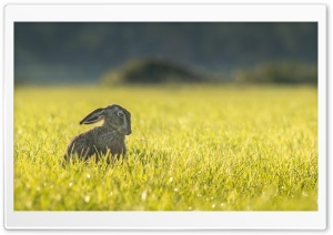 Funny Hare HD Wide Wallpaper for Widescreen