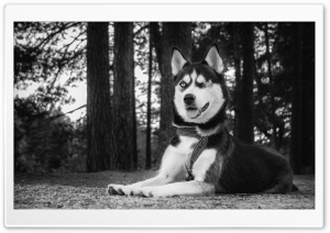 Funny Husky Dog HD Wide Wallpaper for Widescreen