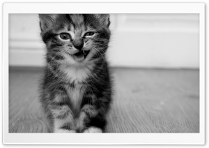 Funny Kitten HD Wide Wallpaper for 4K UHD Widescreen desktop & smartphone