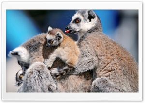 Funny Lemurs HD Wide Wallpaper for Widescreen