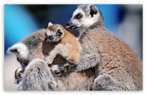 Funny Lemurs HD wallpaper for Standard 4:3 Fullscreen UXGA XGA SVGA ; Wide 16:10 5:3 Widescreen WHXGA WQXGA WUXGA WXGA WGA ; HD 16:9 High Definition WQHD QWXGA 1080p 900p 720p QHD nHD ; Other 3:2 DVGA HVGA HQVGA devices ( Apple PowerBook G4 iPhone 4 3G 3GS iPod Touch ) ; Mobile VGA WVGA iPhone iPad PSP - VGA QVGA Smartphone ( PocketPC GPS iPod Zune BlackBerry HTC Samsung LG Nokia Eten Asus ) WVGA WQVGA Smartphone ( HTC Samsung Sony Ericsson LG Vertu MIO ) HVGA Smartphone ( Apple iPhone iPod BlackBerry HTC Samsung Nokia ) Sony PSP Zune HD Zen ;