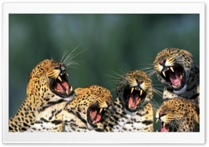 Funny Leopards HD Wide Wallpaper for Widescreen