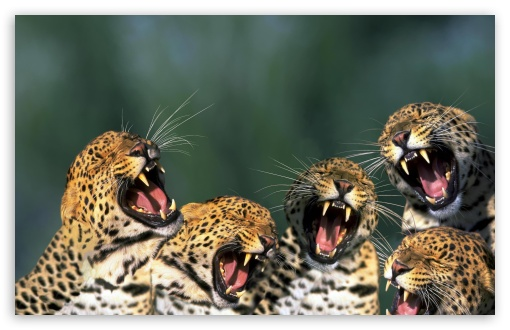 Funny Leopards HD wallpaper for Wide 16:10 5:3 Widescreen WHXGA WQXGA WUXGA WXGA WGA ; HD 16:9 High Definition WQHD QWXGA 1080p 900p 720p QHD nHD ; Standard 3:2 Fullscreen DVGA HVGA HQVGA devices ( Apple PowerBook G4 iPhone 4 3G 3GS iPod Touch ) ; Mobile 5:3 3:2 16:9 - WGA DVGA HVGA HQVGA devices ( Apple PowerBook G4 iPhone 4 3G 3GS iPod Touch ) WQHD QWXGA 1080p 900p 720p QHD nHD ;