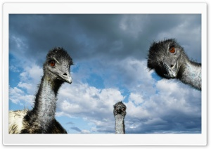 Funny Ostriches HD Wide Wallpaper for Widescreen