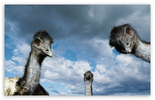 Funny Ostriches HD wallpaper for Wide 16:10 5:3 Widescreen WHXGA WQXGA WUXGA WXGA WGA ; HD 16:9 High Definition WQHD QWXGA 1080p 900p 720p QHD nHD ; Standard 4:3 3:2 Fullscreen UXGA XGA SVGA DVGA HVGA HQVGA devices ( Apple PowerBook G4 iPhone 4 3G 3GS iPod Touch ) ; Tablet 1:1 ; iPad 1/2/Mini ; Mobile 4:3 5:3 3:2 16:9 - UXGA XGA SVGA WGA DVGA HVGA HQVGA devices ( Apple PowerBook G4 iPhone 4 3G 3GS iPod Touch ) WQHD QWXGA 1080p 900p 720p QHD nHD ;
