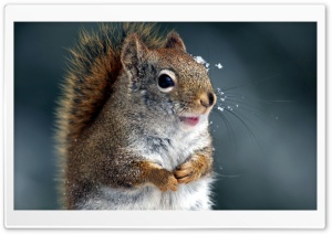 Funny Squirrel HD Wide Wallpaper for Widescreen
