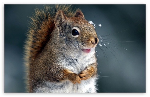 Funny Squirrel ❤ 4K UHD Wallpaper for Wide 16:10 5:3 Widescreen WHXGA WQXGA WUXGA WXGA WGA ; 4K UHD 16:9 Ultra High Definition 2160p 1440p 1080p 900p 720p ; Standard 4:3 5:4 3:2 Fullscreen UXGA XGA SVGA QSXGA SXGA DVGA HVGA HQVGA ( Apple PowerBook G4 iPhone 4 3G 3GS iPod Touch ) ; Smartphone 16:9 3:2 5:3 2160p 1440p 1080p 900p 720p DVGA HVGA HQVGA ( Apple PowerBook G4 iPhone 4 3G 3GS iPod Touch ) WGA ; Tablet 1:1 ; iPad 1/2/Mini ; Mobile 4:3 5:3 3:2 16:9 5:4 - UXGA XGA SVGA WGA DVGA HVGA HQVGA ( Apple PowerBook G4 iPhone 4 3G 3GS iPod Touch ) 2160p 1440p 1080p 900p 720p QSXGA SXGA ;