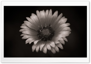 Gaillardia Black and White HD Wide Wallpaper for Widescreen