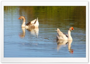 Gansos - Geese HD Wide Wallpaper for Widescreen