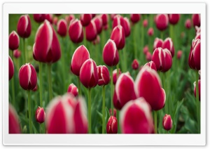 Garden Full Of Tulips HD Wide Wallpaper for Widescreen