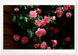 Garden Roses HD Wide Wallpaper for Widescreen