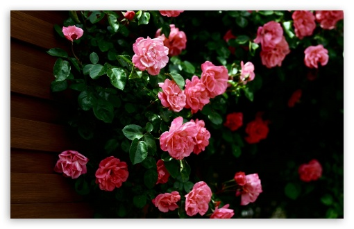 Garden Roses HD wallpaper for Wide 16:10 5:3 Widescreen WHXGA WQXGA WUXGA WXGA WGA ; HD 16:9 High Definition WQHD QWXGA 1080p 900p 720p QHD nHD ; Standard 4:3 5:4 3:2 Fullscreen UXGA XGA SVGA QSXGA SXGA DVGA HVGA HQVGA devices ( Apple PowerBook G4 iPhone 4 3G 3GS iPod Touch ) ; Tablet 1:1 ; iPad 1/2/Mini ; Mobile 4:3 5:3 3:2 16:9 5:4 - UXGA XGA SVGA WGA DVGA HVGA HQVGA devices ( Apple PowerBook G4 iPhone 4 3G 3GS iPod Touch ) WQHD QWXGA 1080p 900p 720p QHD nHD QSXGA SXGA ; Dual 16:10 5:3 16:9 4:3 5:4 WHXGA WQXGA WUXGA WXGA WGA WQHD QWXGA 1080p 900p 720p QHD nHD UXGA XGA SVGA QSXGA SXGA ;