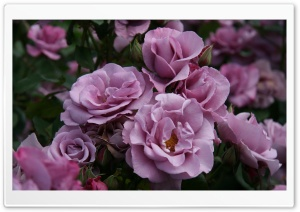 Garden Roses Close-up HD Wide Wallpaper for Widescreen